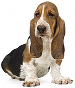 Lovely Basset Hound Picture